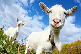 cropped-goat.jpg